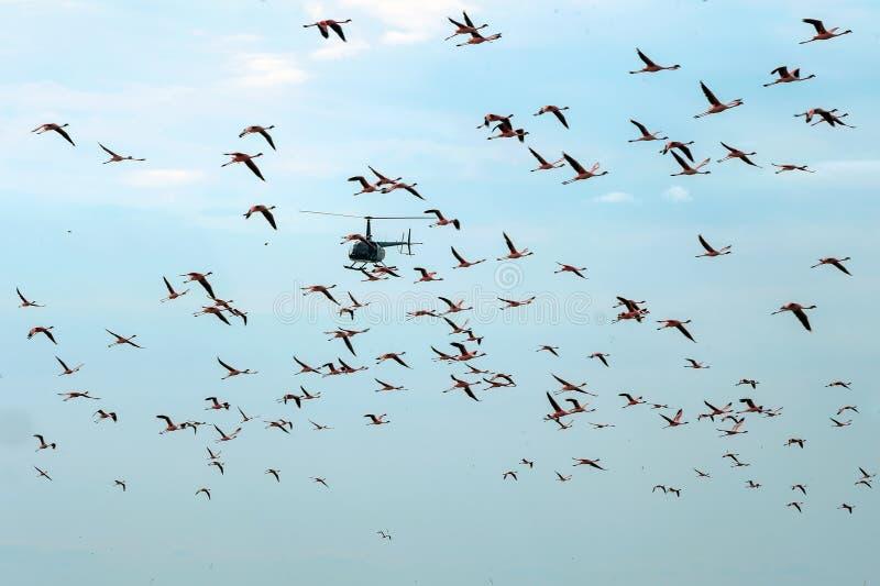 O helicóptero voa através de um rebanho dos flamingos imagens de stock