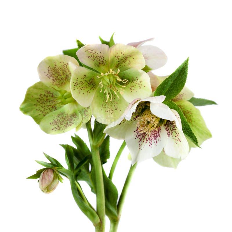 O Hellebore cor-de-rosa quaresmal do close up da flor floresce com as folhas isoladas no backgroun branco fotos de stock royalty free