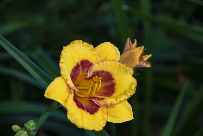 O hemerocallis luxuoso da flor, Hemerocalis pequeno tropeça a abelha no jardim Flor comest?vel Os hemerocallis s?o plantas consta fotografia de stock royalty free