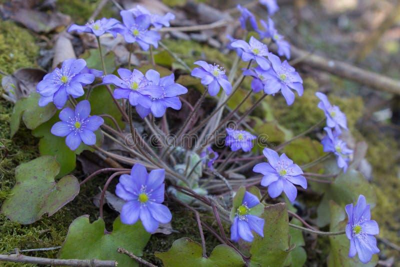 O hepatica da anêmona das flores, flores azuis cresce na mola nos nobilis de Hepatica da floresta imagens de stock royalty free