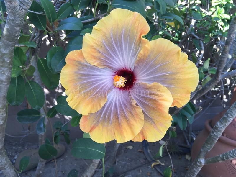 O hibiscus fotos de stock royalty free