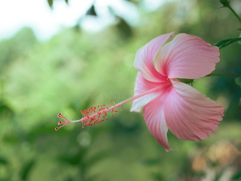 O hibiscus cor-de-rosa bonito floresce em um jardim tropical fotografia de stock