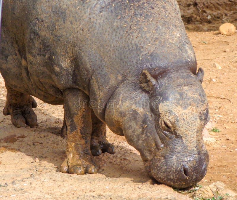 O hipopótamo é água potável do lago imagem de stock