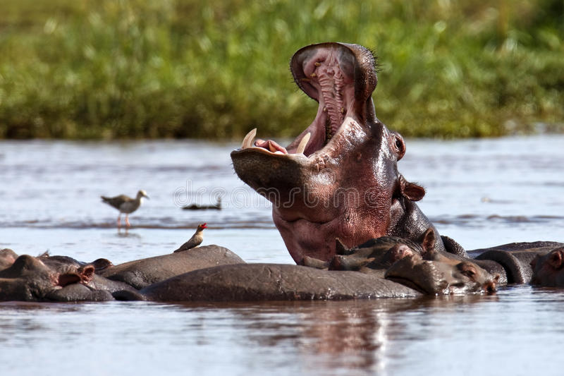 O hipopótamo está no lago e boceja imagens de stock