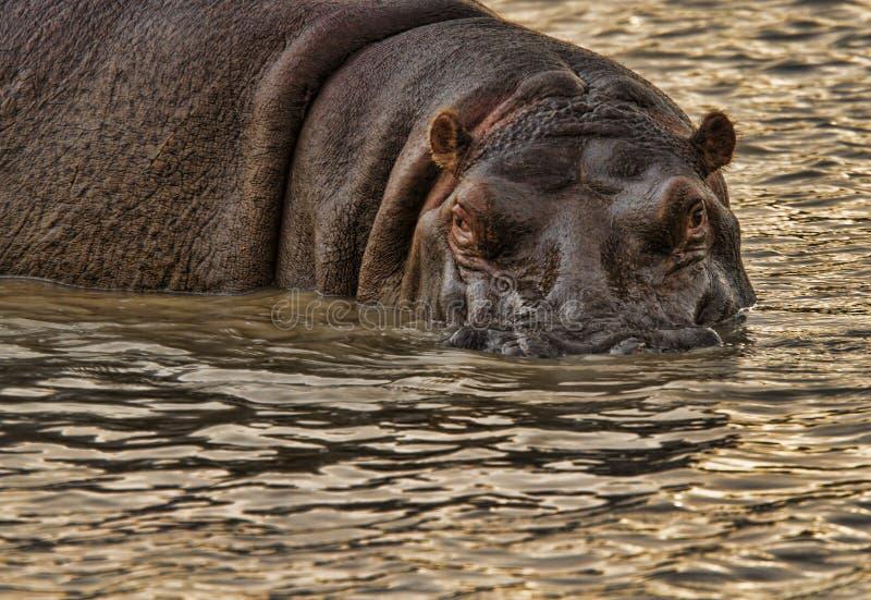 O hipopótamo olha fixamente para baixo imagens de stock royalty free