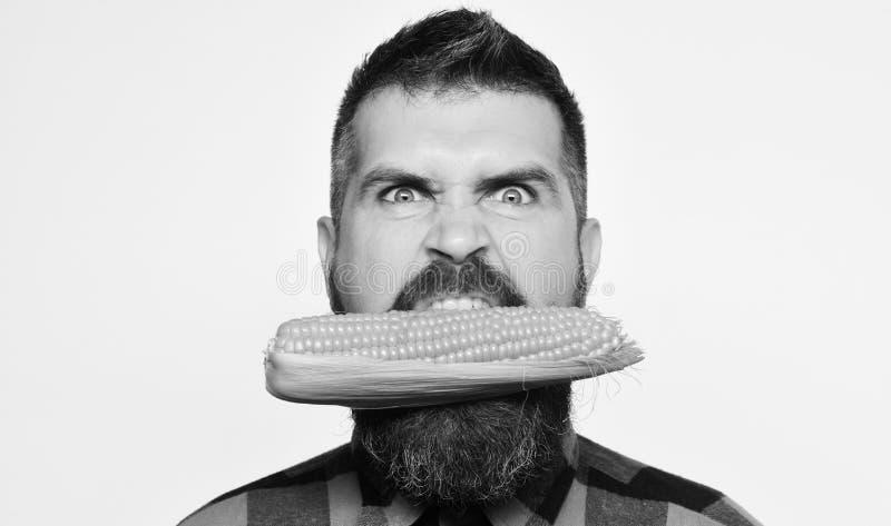 O homem com barba morde a espiga de milho madura isolada no fundo branco O fazendeiro da colheita das mostras do indivíduo com ca fotos de stock