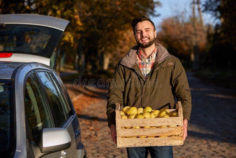 O homem com a caixa de madeira de maçãs douradas maduras amarelas na exploração agrícola do pomar carrega-à seu tronco de carro C foto de stock