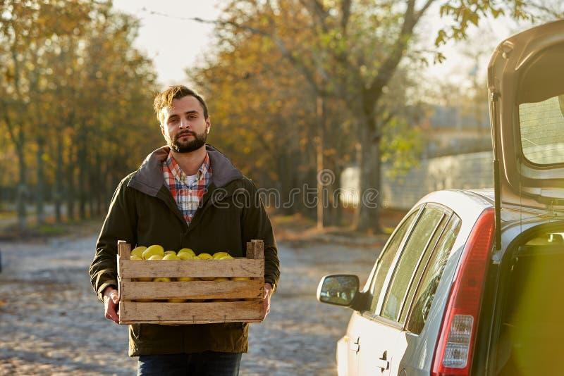 O homem com a caixa de madeira de maçãs douradas maduras amarelas na exploração agrícola do pomar carrega-à seu tronco de carro C foto de stock royalty free