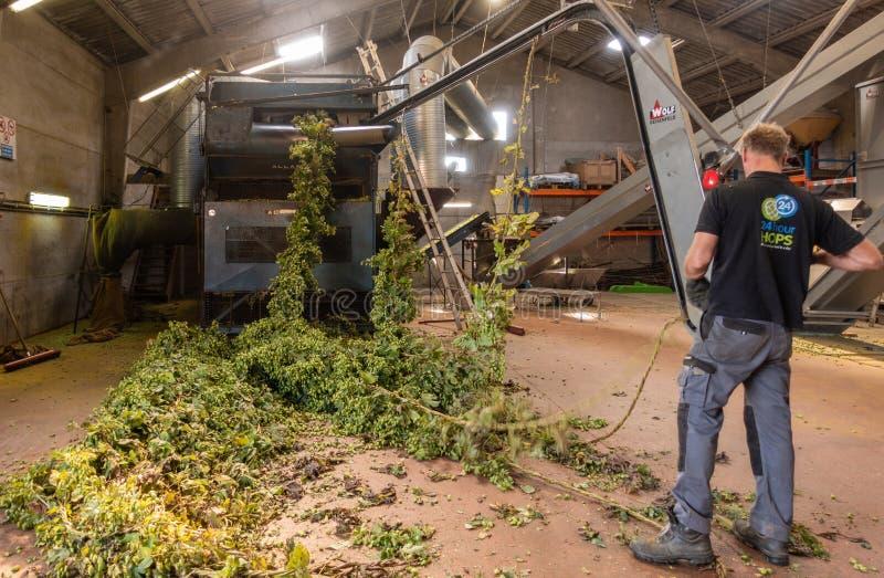 O homem conduz cordas dos lúpulos na máquina da colheita, Bélgica provada fotografia de stock