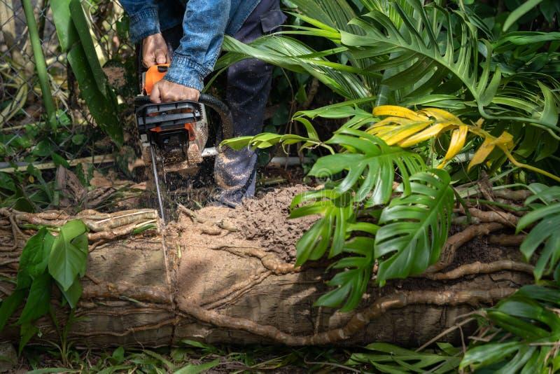O homem corta a árvore do felling da árvore com serra de cadeia Árvore do corte da ocupação fotografia de stock royalty free