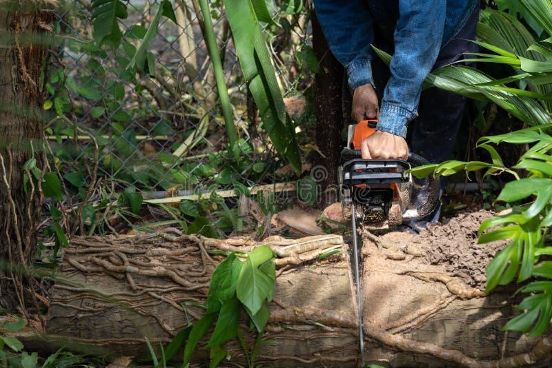 O homem corta a árvore do felling da árvore com serra de cadeia Árvore do corte da ocupação fotos de stock