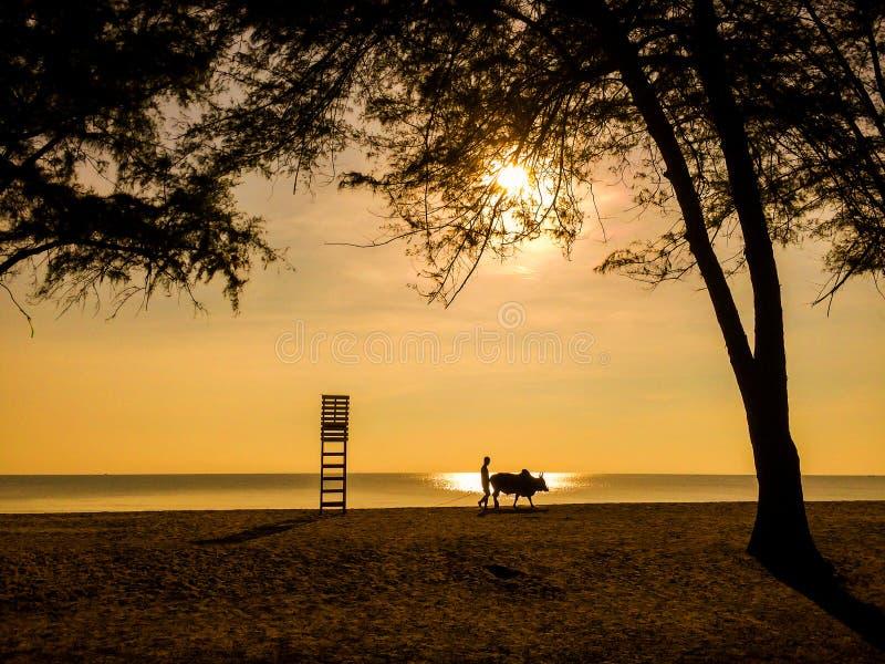 O homem da silhueta com uma vaca anda na praia fotos de stock royalty free