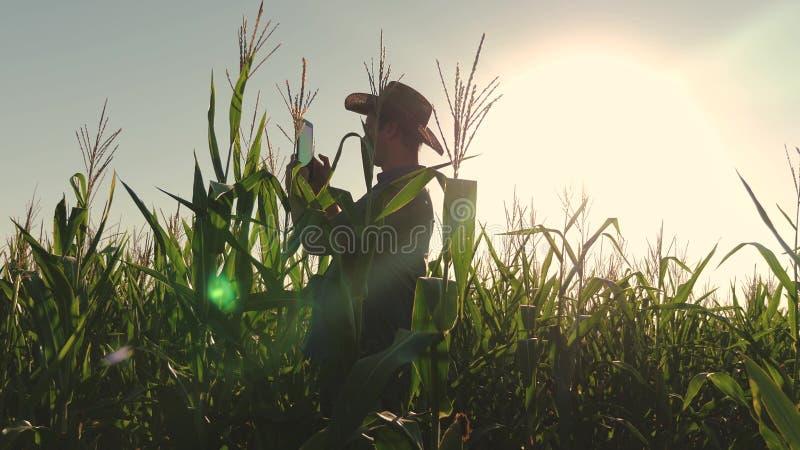 O homem de negócios com tabuleta verifica o campo de milho Conceito do negócio agrícola o homem do agrônomo inspeciona uma flores fotos de stock
