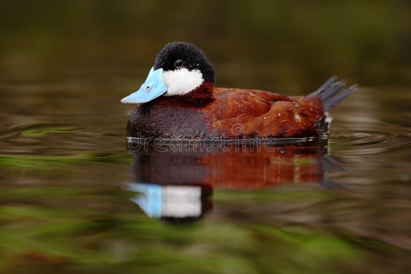 O homem de Ruddy Duck marrom, jamaicensis do Oxyura, com verde bonito e vermelho coloriu a superfície da água fotos de stock royalty free