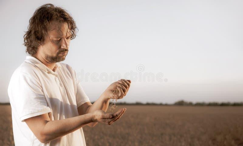 O homem derrama o trigo de corpo a corpo no fundo do campo de trigo fotografia de stock royalty free