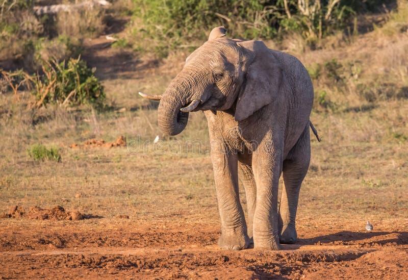 O homem do elefante africano com o tronco a ele é boca fotografia de stock