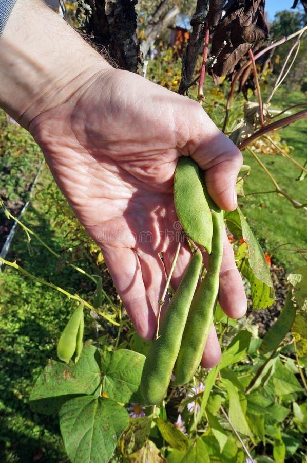 O homem do fazendeiro que rasga vagens de feijão maduras para ramos com han foto de stock royalty free