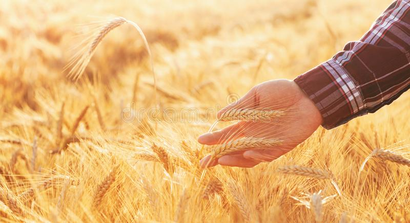 O homem do fazendeiro verifica a maturidade das orelhas do centeio no campo no por do sol Paisagem bonita da natureza da cena do  fotografia de stock royalty free
