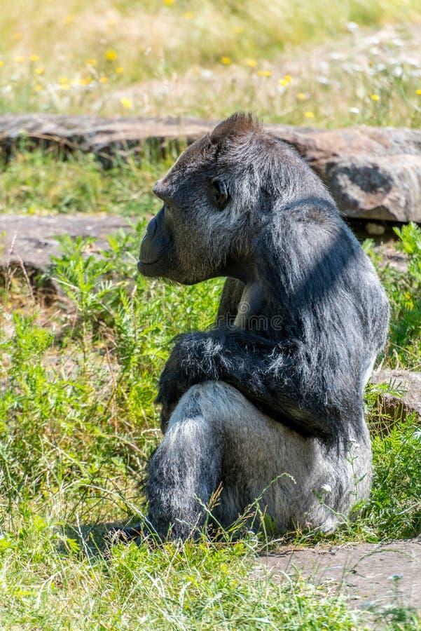 O homem do gorila está anticipando seriamente foto de stock royalty free