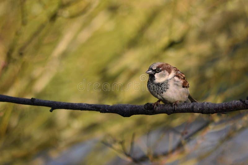 O homem do pássaro do pardal de casa empoleirou-se em um ramo foto de stock royalty free