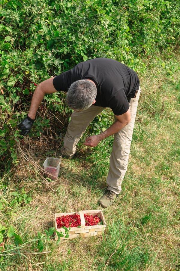O homem dobrou-se sobre o arbusto de corintos vermelhos foto de stock royalty free