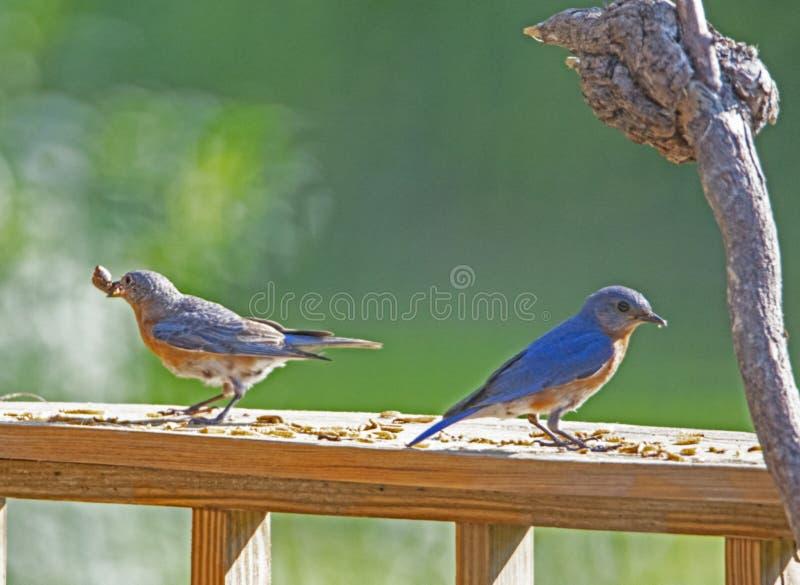 O homem e os azulão-americano fêmeas alimentam em larvas de farinha imagens de stock