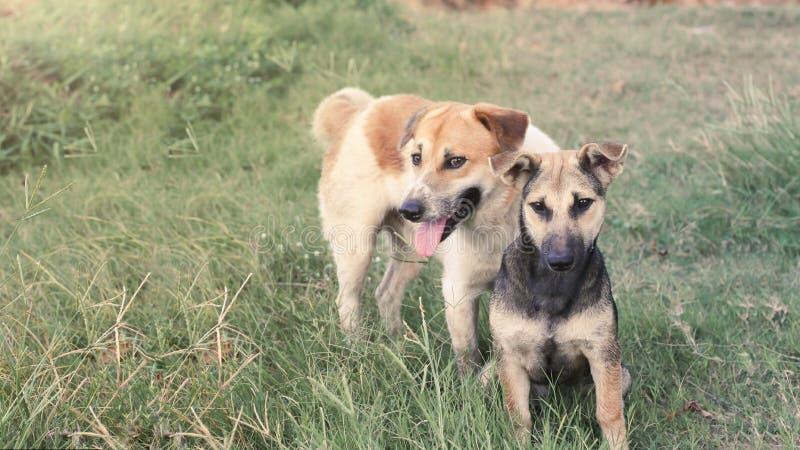 O homem e os cães fêmeas olham a câmera com as tinturas no gramado em Tailândia fotografia de stock royalty free