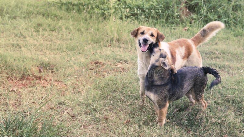 O homem e os cães fêmeas olham a câmera com as tinturas no gramado em Tailândia fotos de stock