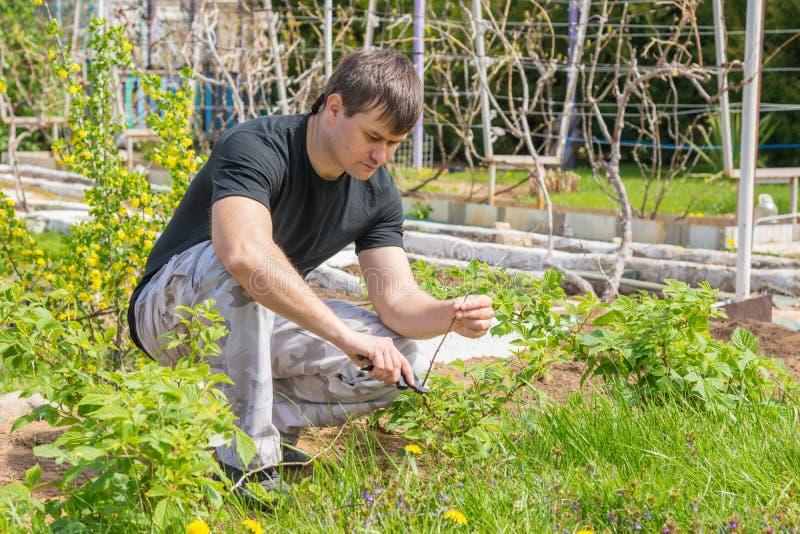 O homem eliminou os galhos secos nos arbustos de framboesa em sua casa de campo do verão fotografia de stock royalty free