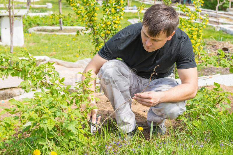 O homem eliminou os galhos secos nos arbustos de framboesa em sua casa de campo do verão foto de stock