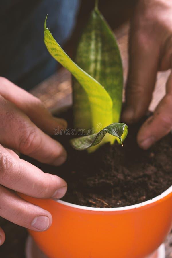 O homem em plantas internas de uma camisa azul floresce o close up foto de stock