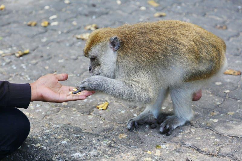 O homem está alimentando núcleos de milho a um mokey pequeno foto de stock royalty free
