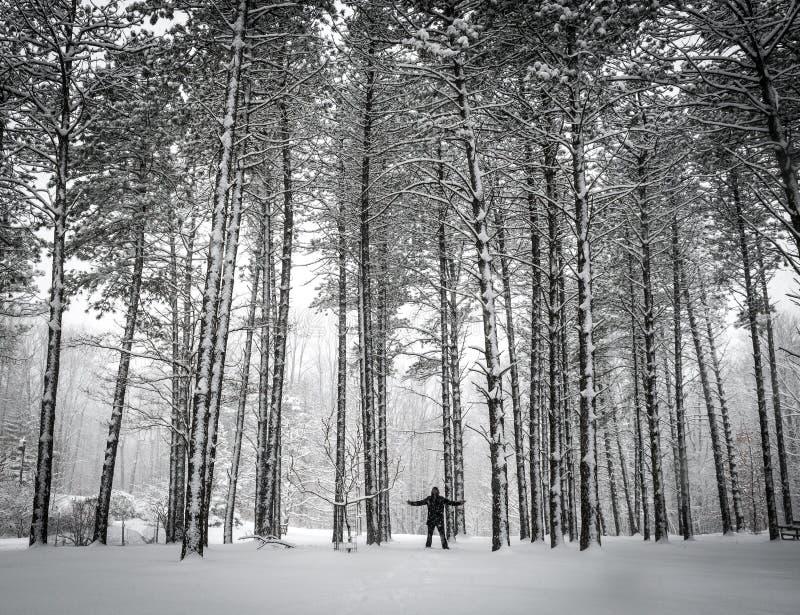 O homem está na frente dos pinheiros cobertos de neve no arboreto de Holden em Ohio imagem de stock