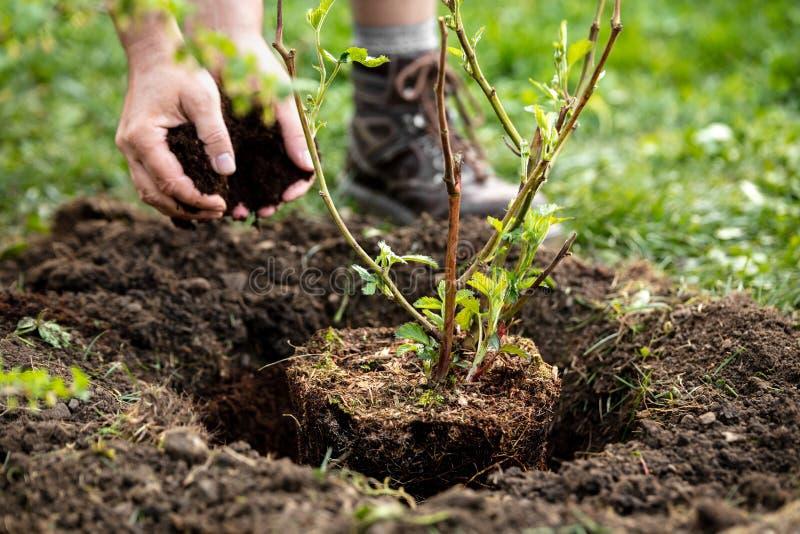 O homem está plantando um fruticosus do Rubus da planta de potenciômetro no jardim, mulching e jardinando fotos de stock royalty free