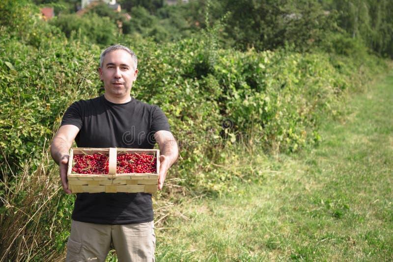 O homem guarda corintos vermelhos em uma cesta imagens de stock royalty free