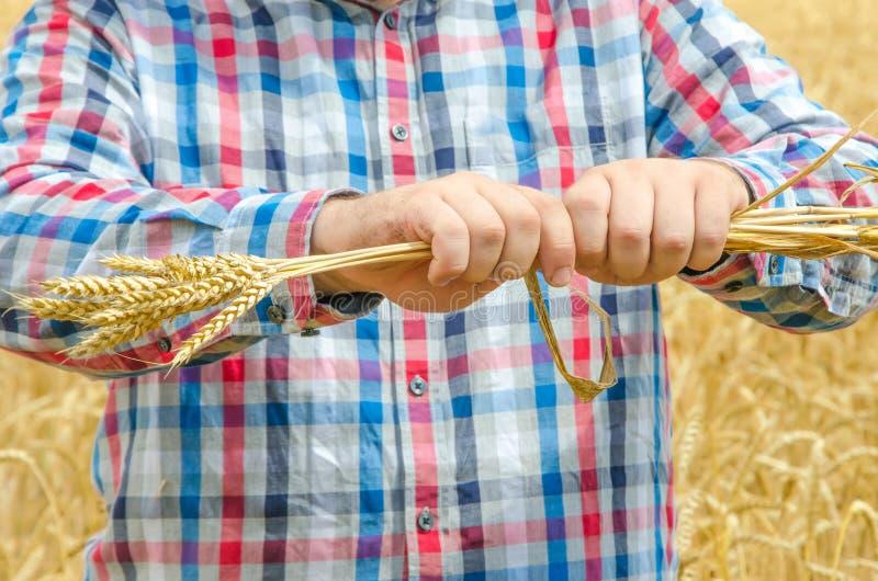 O homem guarda um trigo maduro Mãos do homem com trigo o homem destrói o trigo maduro imagem de stock