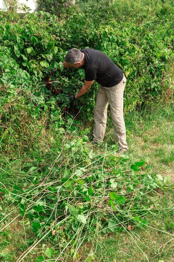O homem novo escolhe corintos vermelhos maduros de um arbusto imagens de stock royalty free