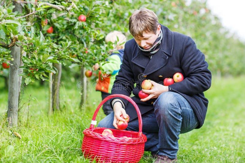 O homem novo que escolhe maçãs maduras vermelhas no fruto jardina com seu littl imagens de stock royalty free
