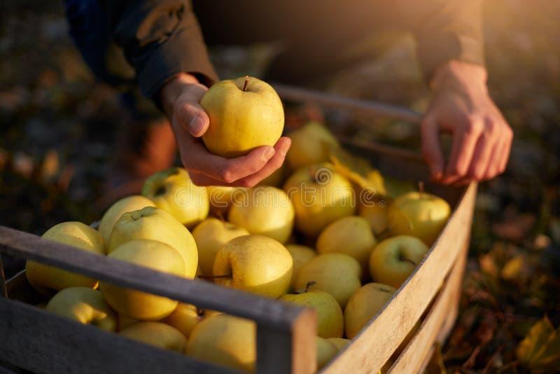 O homem põe a maçã dourada madura amarela a uma caixa de madeira do amarelo na exploração agrícola do pomar Cultivador que colhe  imagens de stock royalty free