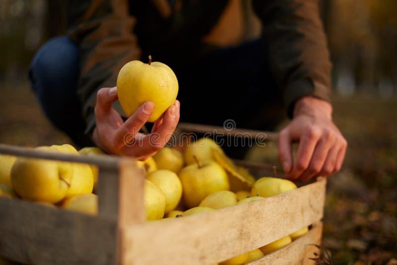 O homem põe a maçã dourada madura amarela a uma caixa de madeira do amarelo na exploração agrícola do pomar Cultivador que colhe  imagens de stock