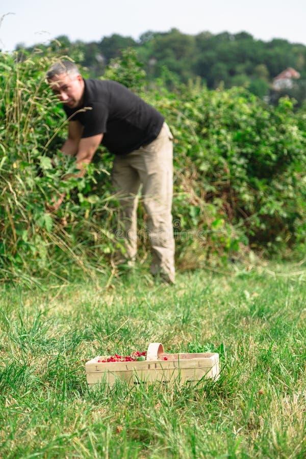 O homem pegara corintos vermelhos suculentos no jardim imagem de stock royalty free