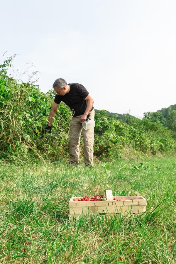 O homem pegara os corintos vermelhos no jardim foto de stock