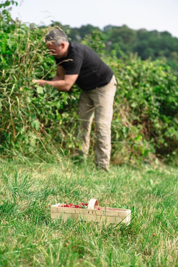 O homem pegara os corintos vermelhos no jardim fotos de stock royalty free