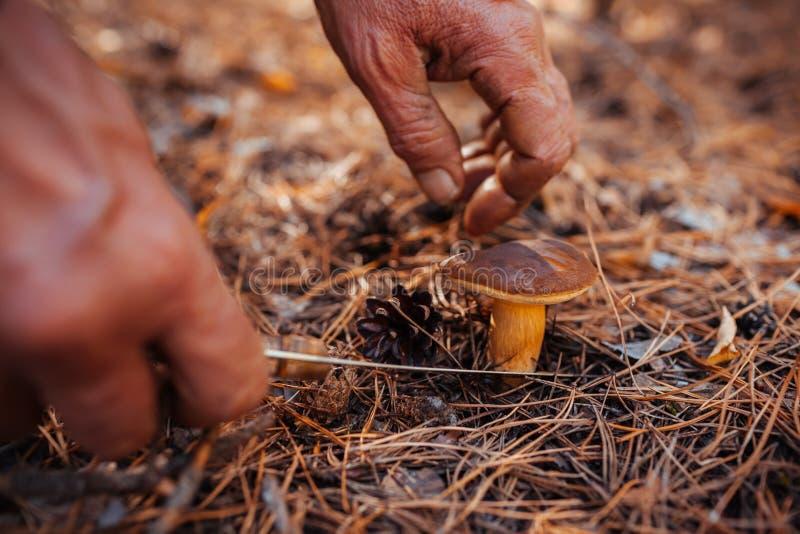 O homem que elimina o cogumelo polonês na estação da floresta do outono do recolhimento cresce rapidamente foto de stock