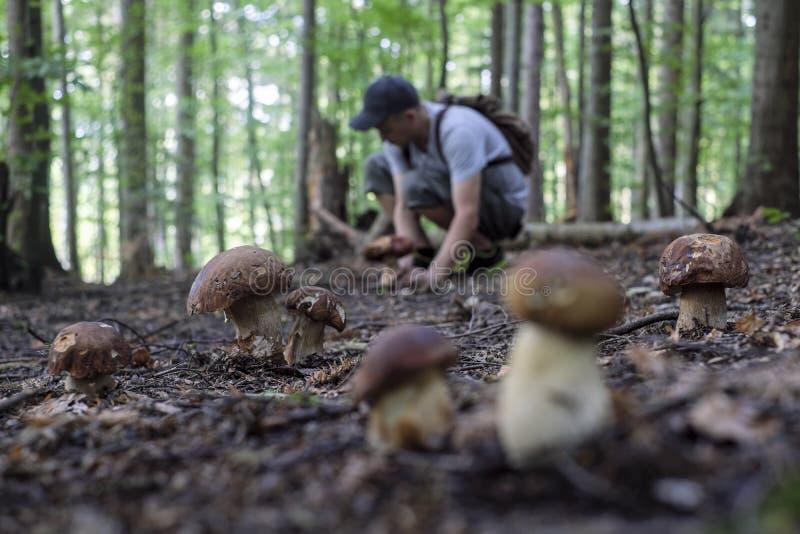 O homem recolhe cogumelos fotografia de stock royalty free
