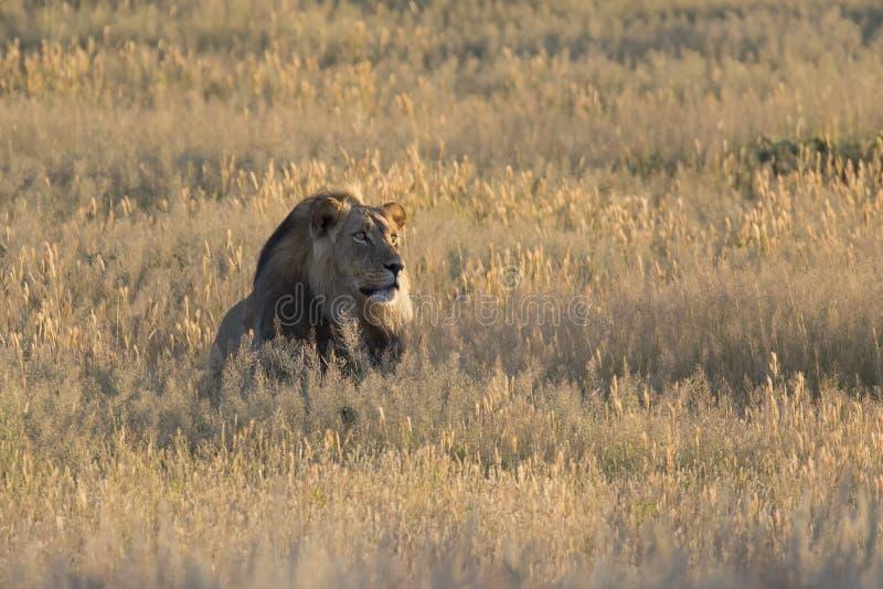 O homem solitário do leão estabelece para descansar na grama de Kalahari fotos de stock
