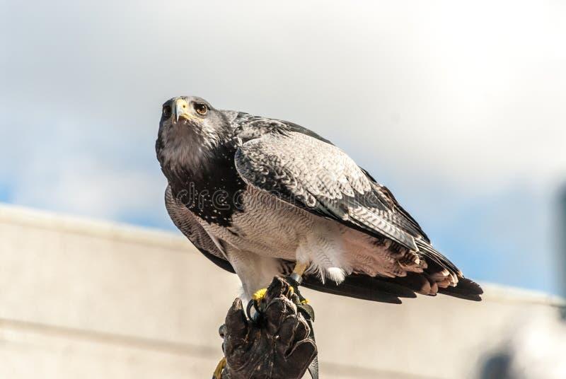 O homem treinou o falcão com penas preto e branco fotos de stock