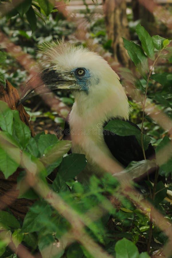 o Hornbill Branco-coroado est? na gaiola fotografia de stock royalty free