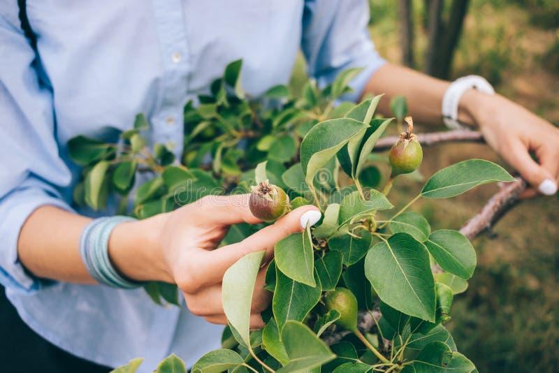 O horticultor da mulher que veste a camisa azul inspeciona o amadurecimento orgânico imagens de stock royalty free