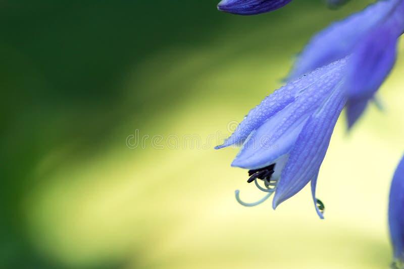 O hosta azul delicado floresce no fundo do verde da natureza do borrão bea foto de stock